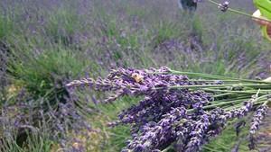 収穫されるラベンダー